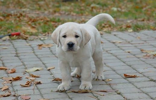 yellow Labrador puppy from Devonshire Labradors