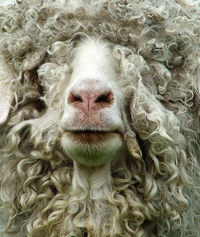 grappige schapen - Google zoeken
