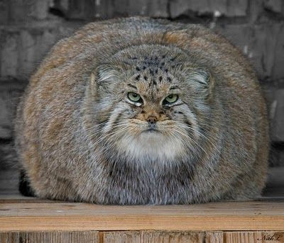 Large House Cats] Top 5 Biggest Domestic Cats Cats Around The .