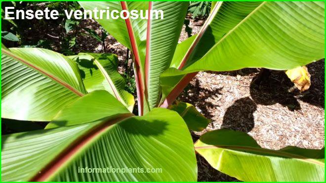 الموز الكاذب الموز الاثيوبي او شبيه الموز Ensete Ventricosum النباتات النبات معلومان عامه معلوماتية Plants 21st