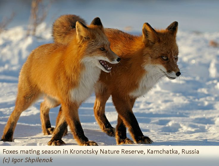 91 Best Fox Anatomy Reference Images On Pinterest Fox Foxes And