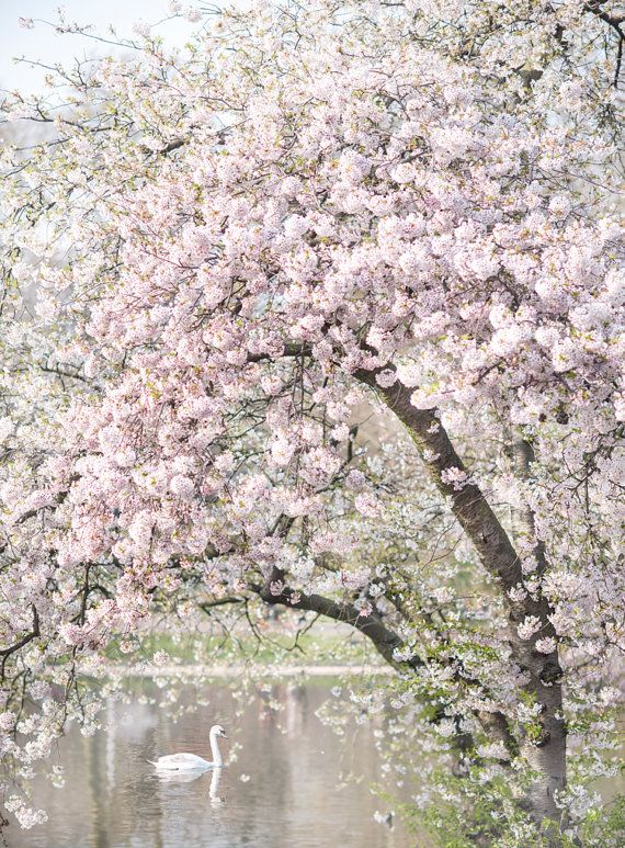 London Photography - Spring in St James Park, Pink Blossom Tree, Swan, England Travel Photo, Large Wall Art, Home Decor