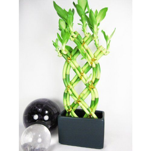 9GreenBox  Live 8 Braided Style Lucky Bamboo Plant Arrangement with Black Vase -- Click image to review more details.