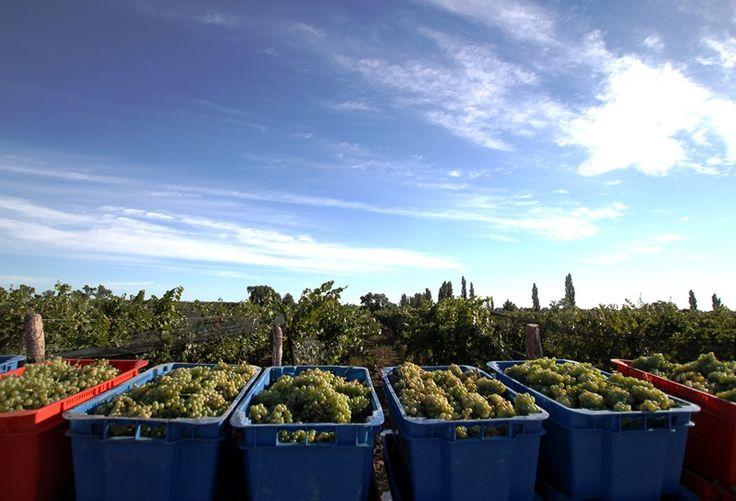 Cosecha de Chardonnay en Finca La Perseverancia para base espumante.