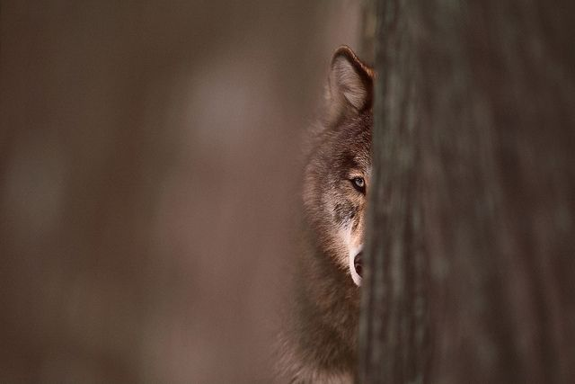 © Jim Brandenburg    Brother Wolf  #wolf #wild #nature