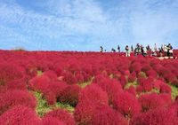 <p>Hitachi Seaside Park is a large public park in Hitachinaka, Ibaraki, especially famous for its seasonal flower gardens.</p>