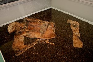 Lindow Man is the preserved bog body of a man discovered in a peat bog at Lindow Moss near Wilmslow. At the time of death, Lindow Man was a healthy male in his mid-20s, and he may have been someone of high status, as his body shows little evidence of heavy or rough work. There has been debate over the reason for Lindow Man's death, for the nature of his demise was violent, perhaps ritualistic; after a last meal of charred bread, Lindow Man was strangled, hit on the head, and his throat cut.