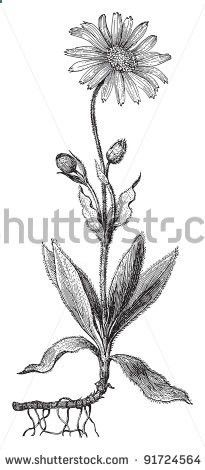 WolfS Bane - Arnica Montana (Medicinal Plant) - Vintage Illustration / Illustration From Meyers Konversations-Lexikon 1897 - 91724564 : Shutterstock
