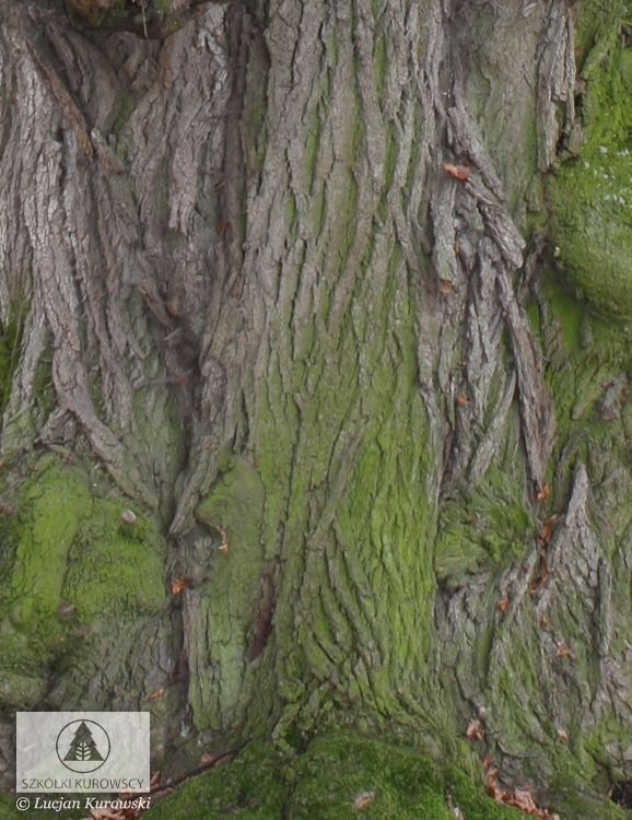 Tilia cordata - Lipa drobnolistna