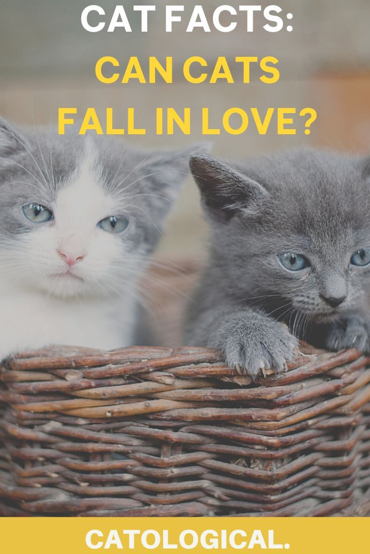 Can Cats Fall In Love With Other Cats Or Even You In 2020 Cat Facts Cats Cat Love Quotes