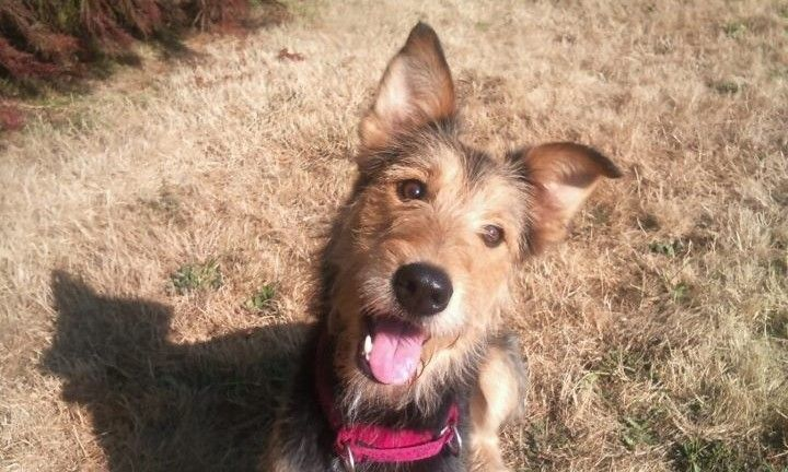 airedale terrier border collie mix | Border Collie Dogs ...