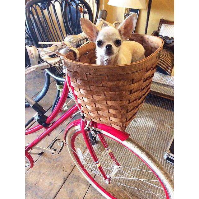 We're smiling so hard right now at this little chihuahua