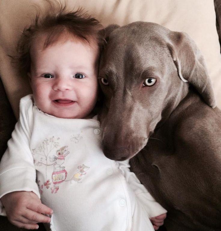 2 babies #weimaraner