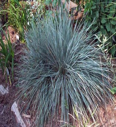 """Helictotrichon semp. Sapphire prudel -  Beautiful foliage more blue than Helictotrichon sempervirens. Form a tight clump and prepared. Demand well-drained soil and tolerates poor sandy soils. """"              Area:   4     Common name:   Blue oat     Family:   Grass     Height:   60cm     Width:   30cm     Exhibition:   Sun     Flower:   Blue to gold, from July to August, flowering height: 90-100 cm     Hardiness Zone / Map Climate   4…"""