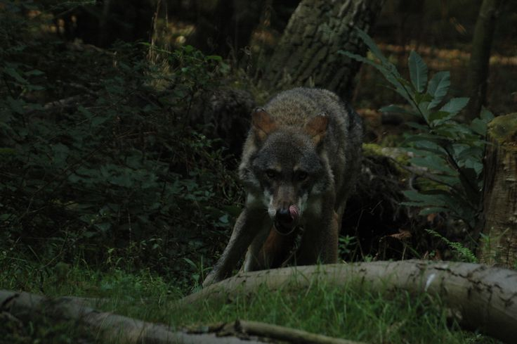 Picture from when I was in Kent. (Tame-ish Wolf)