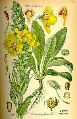 Verbascum Thapsus, Common Mullein; 'The Candlewick Plant'. Two Years to full mature. Easy grow in waste ground. Internal (flowers only) chest throat. External (leaves) in poultice, compress, lotion, bathe for cut and abrasion, inhalation, oil, decoction.
