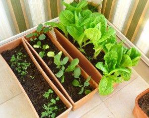 cultivo en casa de rabanitos