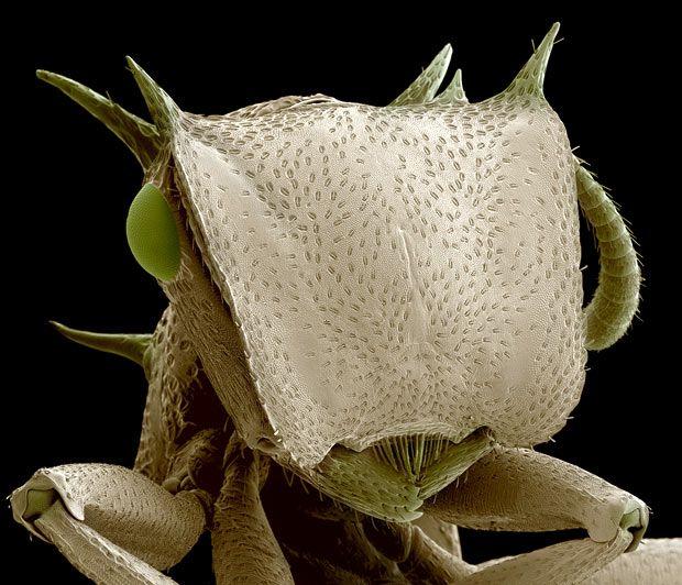 Une micrographie de couleur électronique à balayage de la tête d'une fourmi de tortue de soldat (Cephalotes sp.) De la forêt amazonienne