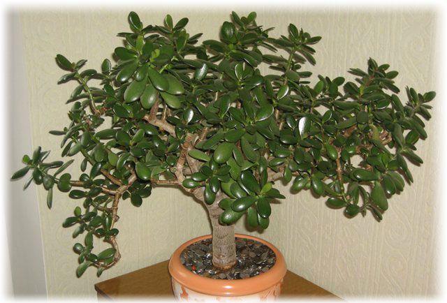 Денежное дерево: приметы, с ним связанные, правильный уход за толстянкой