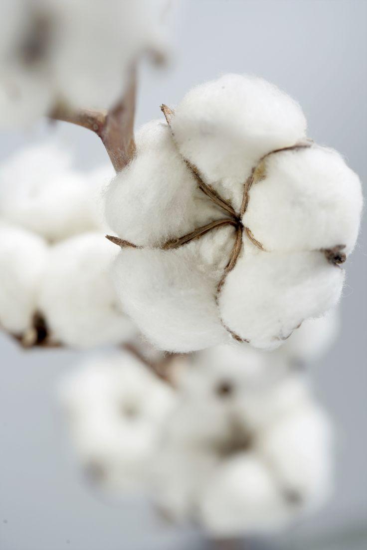 De katoen plant, grondstof voor veel beddengoed. De allerbeste is Egyptisch katoen, basis voor veel belinnen van fijn.nl