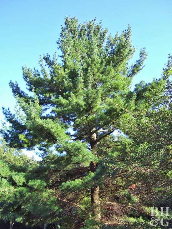 best 20 evergreen trees landscaping ideas on pinterest. Black Bedroom Furniture Sets. Home Design Ideas