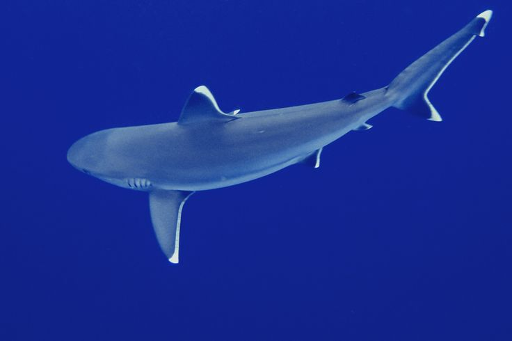 70 best images about Silvertip Shark - Carcharhinus ...