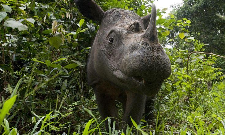 Understanding the Plight of the Sumatran Rhino- one of the rarest mammals on earth