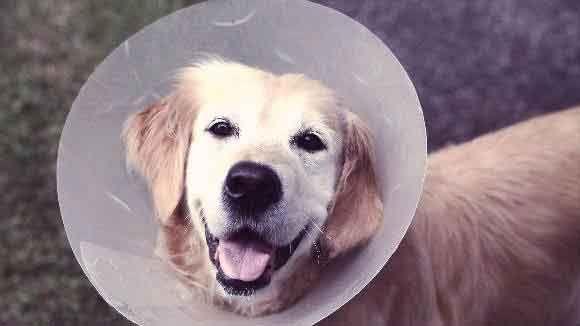 A Dog With An Elizabeth Collar