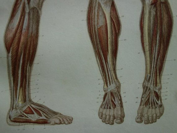 150 years old anatomical engraving of legs and by DecorativePrints