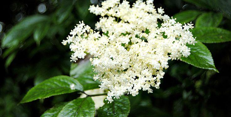 Il sambuco (Sambucus nigra) è una pianta molto comune in tutta Europa e viene utilizzata da secoli per le sue innumerevoli proprietà fitoterapiche. Le bacche mature sono un ottimo lassativo e contengono nutrienti e antiossidanti capaci di rinforzare il sistema immunitario. I fiori e le foglie vengono utilizzate soprattutto per il trattamento di patologie dell'aparato respiratorio, e per contrastare gli stati febbrili. La corteccia è un ottimo diuretico e lassativo.