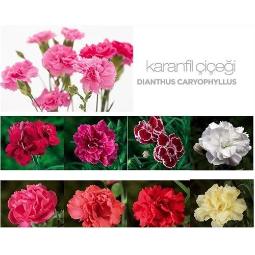 Dianthus Caryophyllus - Summer Plant