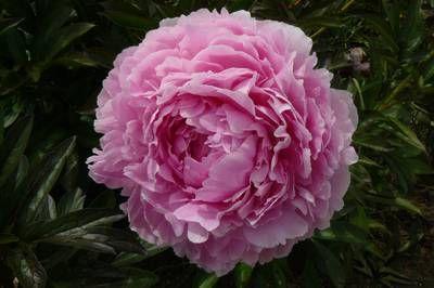 blumengarten andrea köttner: Pfingstrosen, Taglilien, Iris: Pfingstrose Pillow Talk, Paeonia lactiflora