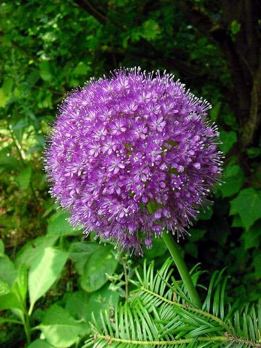 Lavender, purple allium