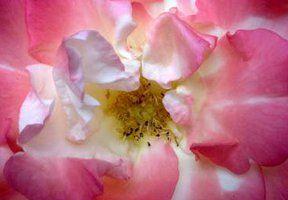 ansichtkaart 07 -roos- brechtje duijzer