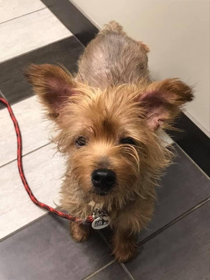 Adopt harper on petfinder yorkshire terrier help