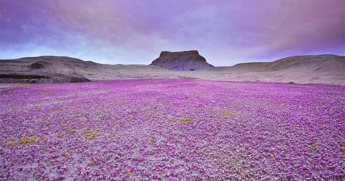 Kvitnú len pár dní, raz za niekoľko rokov. Toto sú čarovné kvety facelie a kleomy vyprahnutej púšte v Colorade. Guy Tal, Kvitnúca púšť, Colorado Plateau