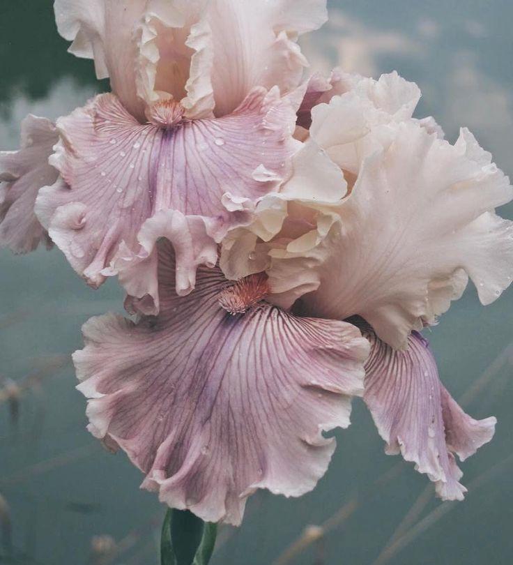 Inspiration notes: Iris studies