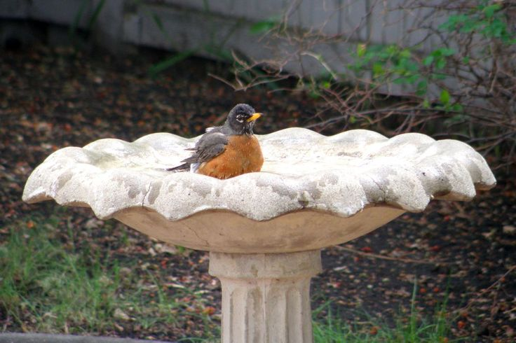 Robin in the bird bath