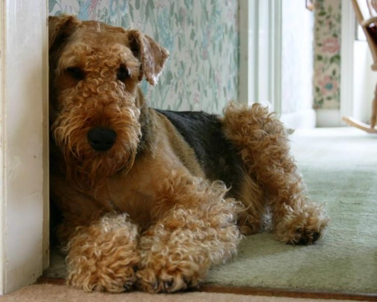 Airedale Terriers = the love of my life