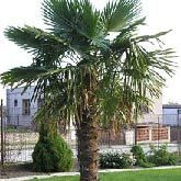 Needle Palm Trees | Needle Palm Tree for Sale | Fast Growing Trees