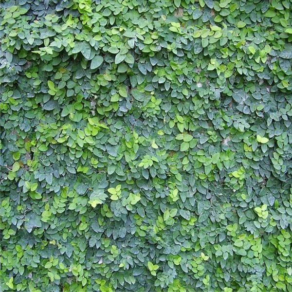 Ficus Pumila (Creeping Fig) (Climbing Fig) - Australia