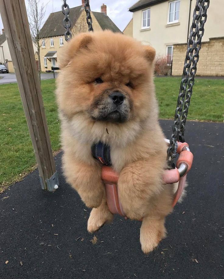 25 best ideas about chow chow dogs on pinterest chow