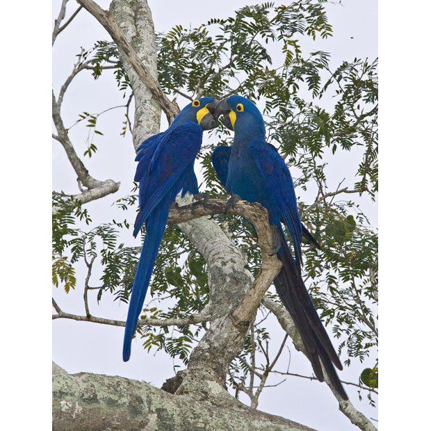Hyacinth macaws, Pantanal, Brazil. (Photo by Joanne Williams)
