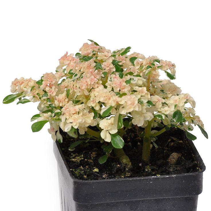 Amazon.com : Miniature Fairy Garden Pilea microphylla variegata, Tricolor, Artillery Fern : Patio, Lawn & Garden