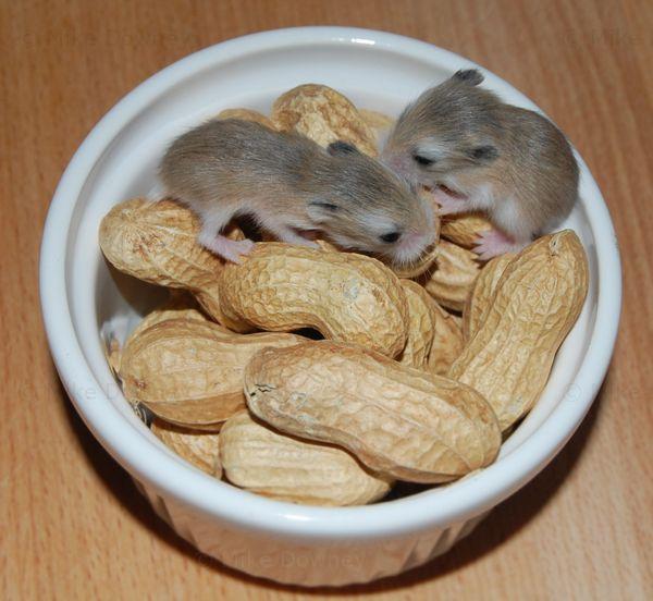 robo dwarf hamster babies
