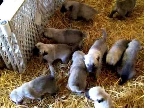 Anatolian ~ Kangal Puppies 10 weeks