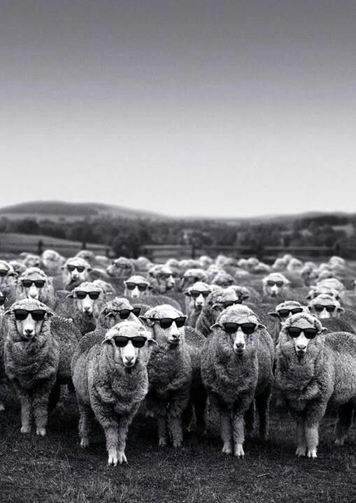 New Zealand sheep - cooler than the rest!