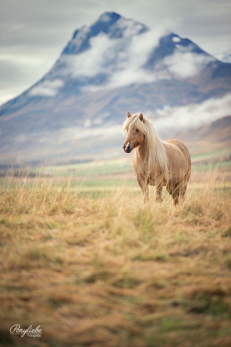 Isabellfarbener Isländer mit Schnippe vor einer atemberaubenden Landschaft. #pferdefotografie #horsephotography