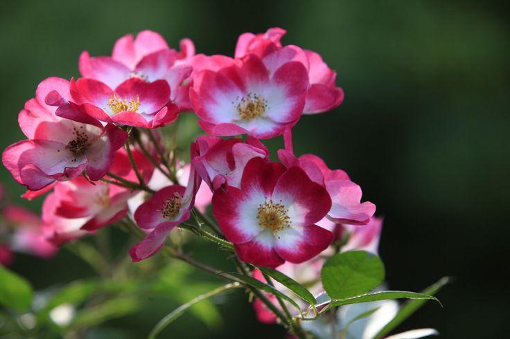 les rosiers eglantia intropi sont des vari t s couvre sol