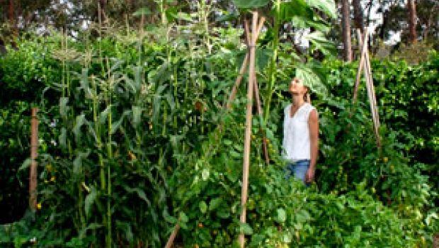 My enormous sunflower loves cow manure | Organic Gardener Magazine Australia